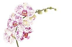 De orchideetak van waterverfphalaenopsis op witte achtergrond wordt geïsoleerd die Stock Foto