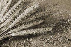De oren en de korrels van de tarwe stock fotografie