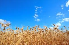 De oren van de gebiedstarwe op een dag van de achtergrond bewolkte hemelzomer Stock Foto's