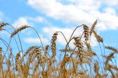 De oren van de gebiedstarwe op een dag van de achtergrond bewolkte hemelzomer Royalty-vrije Stock Fotografie