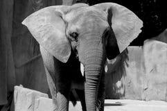 De Oren van de olifant Stock Fotografie