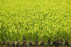 De oren van de rijst Royalty-vrije Stock Foto's