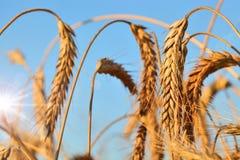 De oren van de tarwe stock afbeeldingen