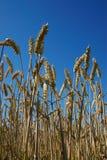 De oren van de tarwe in blauwe hemel stock foto's