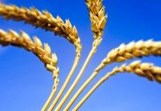 De oren van de tarwe in een blauwe hemel stock afbeelding