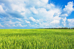 De oren van de tarwe en bewolkte hemel Stock Foto