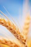 De oren van de tarwe in het landbouwbedrijf Stock Afbeelding