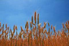 De oren van de tarwe onder blauwe hemel Stock Foto's