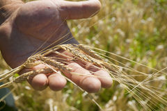 De oren van de tarwe op het gebied in zonlicht. brood Royalty-vrije Stock Foto