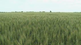 De Oren van het tarwegebied van tarwe en heldere zonnige dag stock footage