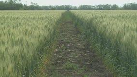 De Oren van het tarwegebied van tarwe en heldere zonnige dag stock video