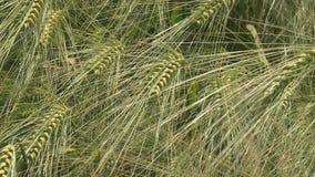 De Oren van het tarwegebied van tarwe en heldere zonnige dag stock videobeelden