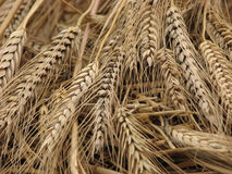 De oren van tarwe, sluiten omhoog Stock Afbeelding