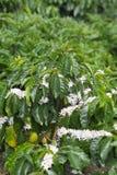 De organische bloesem van de Koffieboom royalty-vrije stock foto's