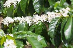 De organische bloesem van de Koffieboom royalty-vrije stock fotografie