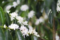 De organische bloesem van de Koffieboom royalty-vrije stock afbeelding