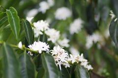 De organische bloesem van de Koffieboom stock afbeelding