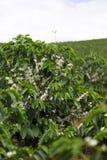 De organische bloesem van de Koffieboom royalty-vrije stock afbeeldingen