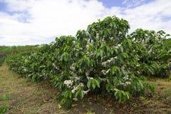 De organische bloesem van de Koffieboom stock fotografie
