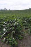 De organische bloesem van de Koffieboom stock foto's
