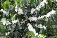 De organische bloesem van de Koffieboom royalty-vrije stock foto