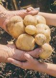 De organische eigengemaakte aardappels van de groentenoogst Selectieve nadruk royalty-vrije stock afbeelding