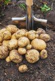 De organische eigengemaakte aardappels van de groentenoogst Selectieve nadruk royalty-vrije stock foto