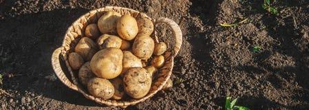 De organische eigengemaakte aardappels van de groentenoogst Selectieve nadruk stock foto