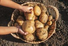 De organische eigengemaakte aardappels van de groentenoogst Selectieve nadruk royalty-vrije stock fotografie