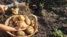 De organische eigengemaakte aardappels van de groentenoogst Selectieve nadruk stock afbeeldingen