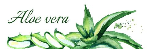 De organische horizontale illustratie van Aloëvera Hand getrokken waterverf Royalty-vrije Stock Afbeeldingen