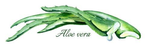De organische horizontale illustratie van Aloëvera Waterverfhand getrokken samenstelling Royalty-vrije Stock Foto