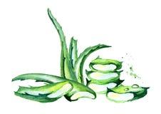 De organische illustratie van Aloëvera Waterverfhand getrokken samenstelling Stock Afbeeldingen