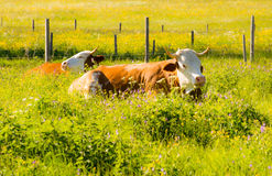 De organische landbouw met gelukkige koeien Stock Afbeeldingen