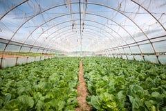 De organische landbouw, selderiekool het groeien in serre Stock Foto's