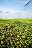 De organische landbouw, zaailingen die in serre toenemend Stock Foto's