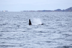 De orka of de orka zwemmen in het noordpooloverzees Stock Afbeelding