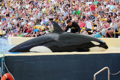 De orka die petted is Stock Afbeelding