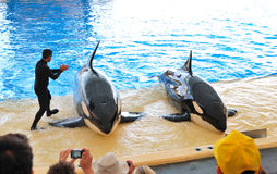 De orka's tonen in Loro Parque Stock Fotografie