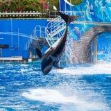 De orka springt en toont het Gehele Lichaam Stock Afbeeldingen