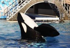 De orka toont Royalty-vrije Stock Foto