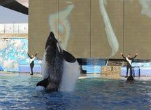 De orka toont Stock Foto's