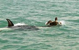 De orka valt reuzeschildpad aan Stock Fotografie