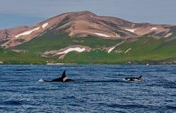 De orka van orkaorcinus Het watergebied dichtbij het Schiereiland van Kamchatka, Avacha-Baai stock foto