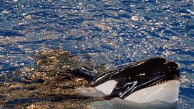 De orka zegt Hello Royalty-vrije Stock Foto's