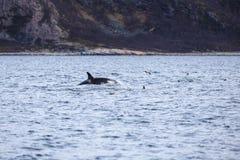 De orka zwemt in het noordpooloverzees Stock Foto's