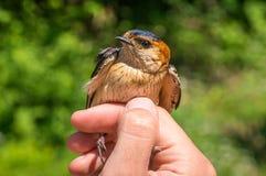 De ornitholoog onderzoekt vogel Stock Afbeeldingen