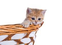 De oro británico del color del gatito del shorthair sombreada se sienta en la cesta Imagenes de archivo