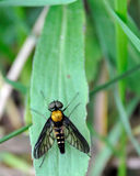 De oro-movió hacia atrás atacan desde un escondite la mosca Fotos de archivo