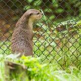De otter in gevangenschap kijkt door de omheining van het is kooi royalty-vrije stock afbeelding